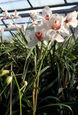 Cymbidium Via Real