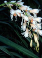 Cymbidium Early Style